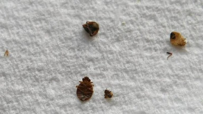About the Bed Bug Threat